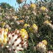 Flore gestion différenciée, Anthyllide vulnéraire