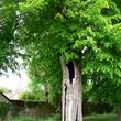 Suivi sanitaire d'un arbre à Lens