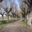 Allée d'arbres taillés à Vetheuil