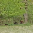 Moutons en éco-paturage dans un contexte de gestion différenciée d'espaces verts à Mouscron