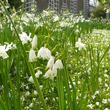 Fleurissement durable en couvre sol et bulbes