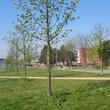 Pied d'arbre en gestion différenciée à Grande-Synthe
