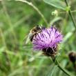 Centaurée et pollinisateurs