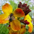 Giroflée et pollinisateurs