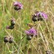 Centaurées et pollinisateurs
