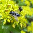 Pollinisateurs sur sédums