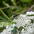 Pollinisateurs sur ombellifères