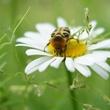 Grande marguerite et pollinisateur