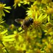 Pollinisateurs sur Milpertuis