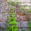 Végétalisation spontanée de murs