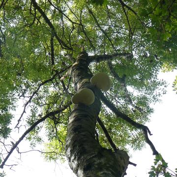 Suivi sanitaire d'un arbre creux à Lens