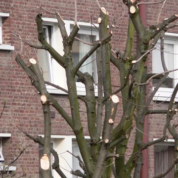 Taille drastiques d'arbres