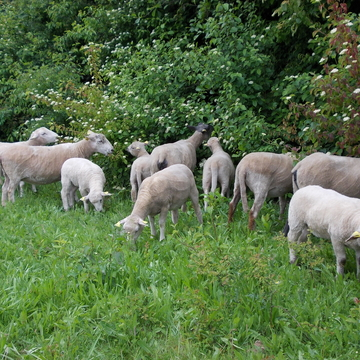 Gestion en éco-pâturage à Aulnaye-sous-Bois