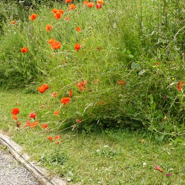 Bord de chemin fleuris dans le Kent